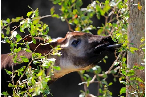 Okapi, (Okapia johnstoni), Afrika, adult, Portrait, fressend  Okapi, (Okapia johnstoni), Africa  Okapi, (Okapia johnstoni), Africa, adult feeding portrait  Okapi, (Okapia johnstoni), Africa, adult, adults, feeding, foraging, portrait, portraits, close up, closeup, close ups, alert, horizontal, okapi, okapis, herbivore, herbivores, mammal, mammals, animal, animals, wild, wildlife, outdoor, outdoors, outside, zoology, color, colour