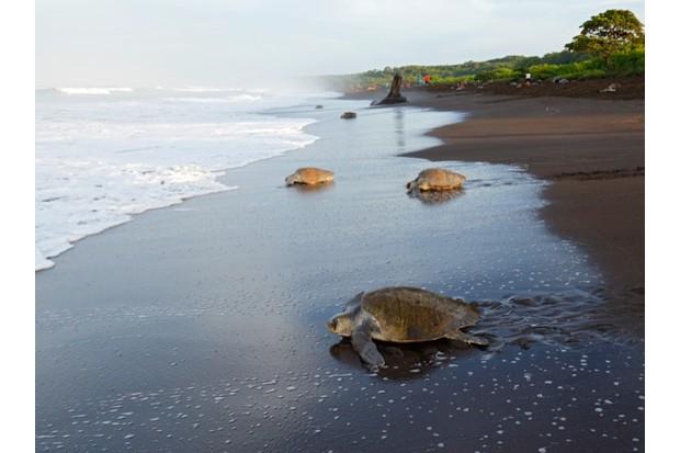 OliveRidleyTurtle_Beach_CostaRicaJuanCarlosVindas_623-85dc292