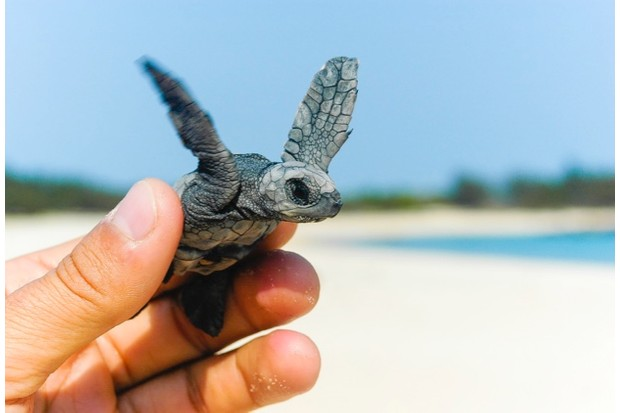 Found this olive ridley turtle hatchling on North East Island, an important sea turtle rookery, off Groote Eylandt.