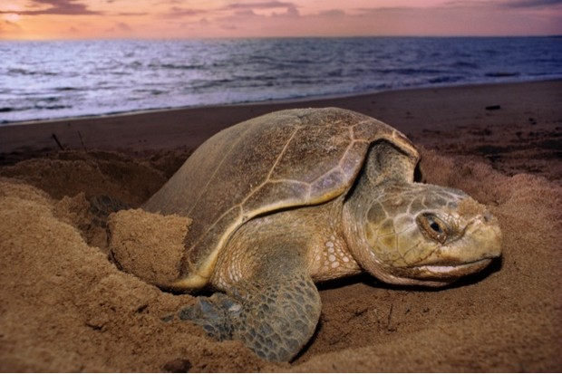 Olive ridley sea turtle laying eggs at sunset, Lepidochelys olivacea, Surinam