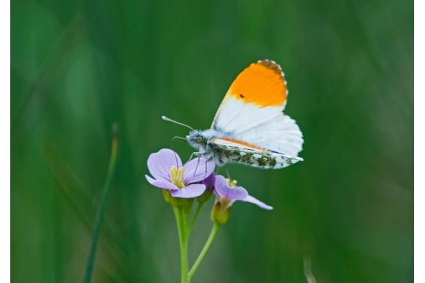 Orange-tip Butterfly Anthocharis cardamines on Cuckoo Flower North Norfolk May
