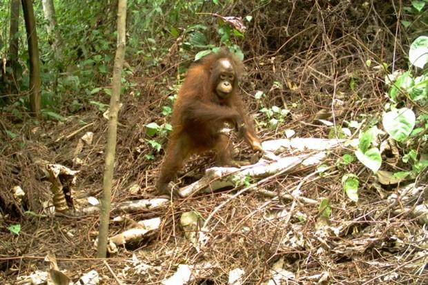 Orangutan-young_623-ff8dccd