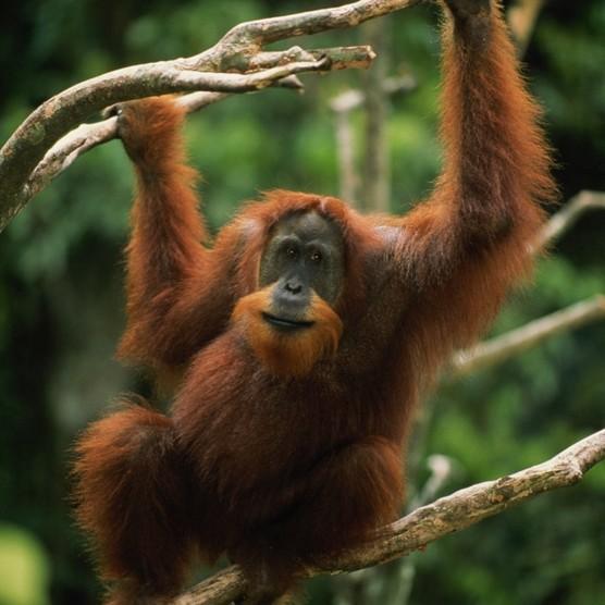 Orangutan623-b49e4d3