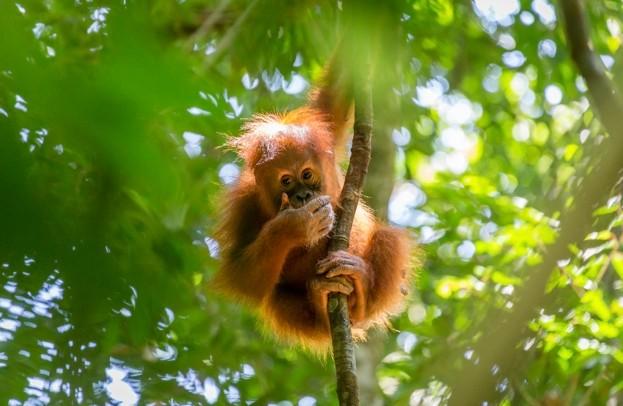 Orangutan_Bas-Vermolen_Getty-Gunung-Leuser-National-Park-Sumatra-Indonesia_623-a2b4c7c