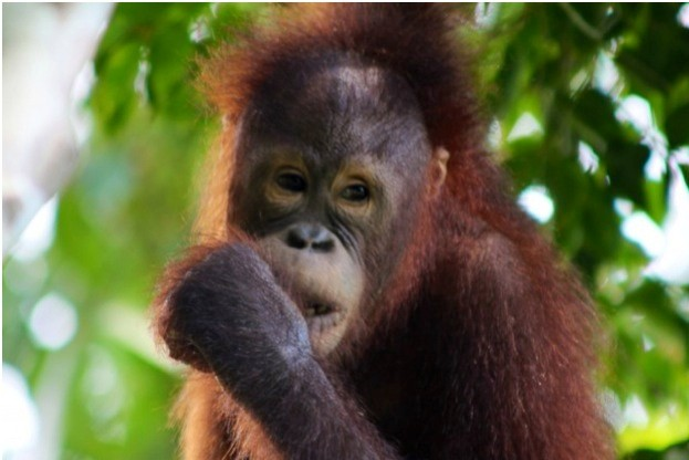 Orangutan_Stuart-Jamieson_623-53a561b