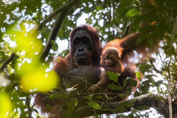 Orangutans-in-Sabangau-Forest-Gracia-and-new-infant-Gara-Pau-Brugues-Sintes_Borneo-Nature-Foundation_623-feb9566