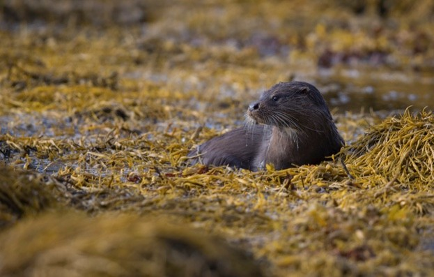 Otter-Isle-of-Mull_Simon-Tassell-Barcroft-Images-Barcroft-Media-via-Getty-Images_623-bd2ca26