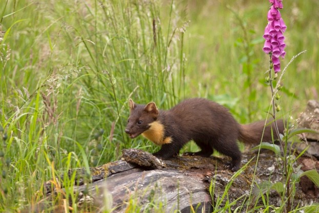 Until the species reestablishes itself throughout the UK, your best chances of seeing a pine marten lie in the Scottish Highlands.