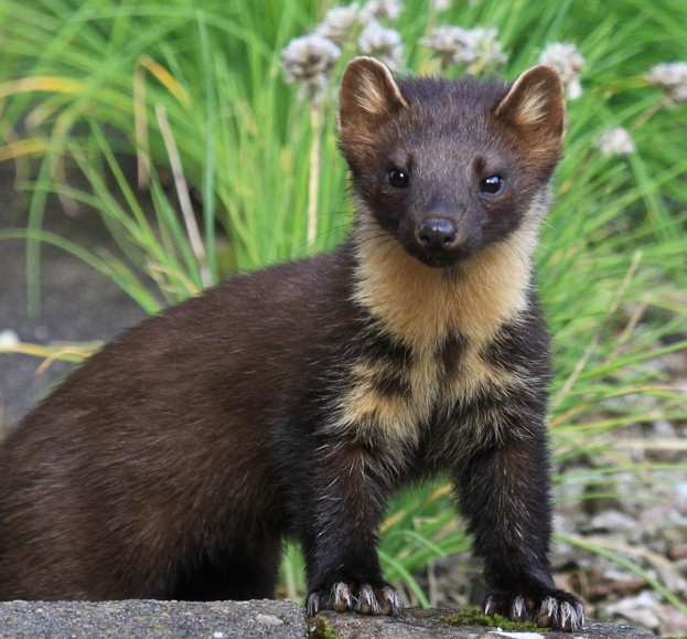 A pine marten's distinctive, cream-coloured bib is useful for identifying individuals, and gives a clue as to the animal's age.