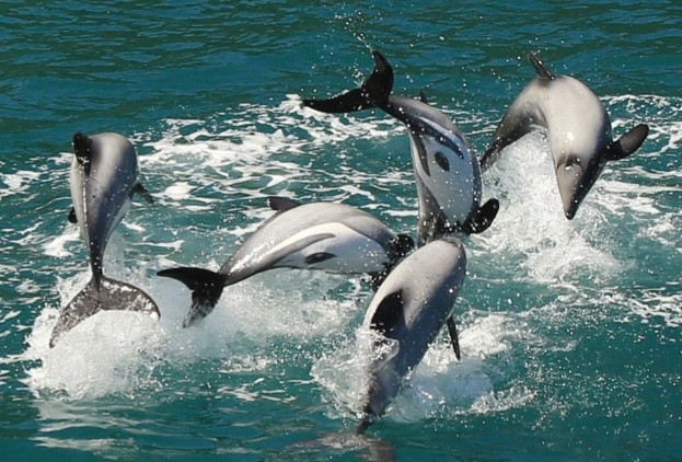 Hector's dolphins are endemic to New Zealand © Rob Pine