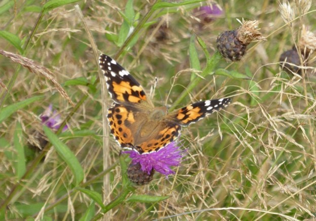 Painted-lady-butterfly-in-wildflower-meadow-at-Chester-Zoos-Nature-Reserve_623-3536052