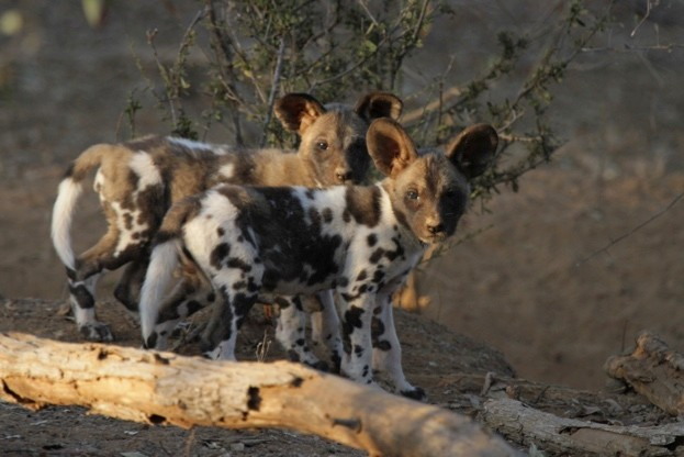Pair-of-wild-dog-pups-in-Zimbabwe-credit-ZSL_Rosemary-Groom_623-2356c60