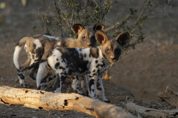 Pair-of-wild-dog-pups-in-Zimbabwe-credit-ZSL_Rosemary-Groom_623-2356c60