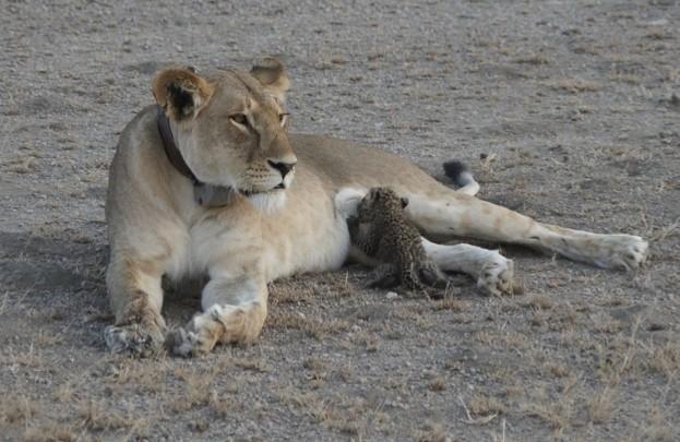 Panthera-1_CreditJoopVanDerLinde_623-4ca8fdb