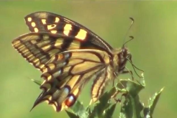 Patrick-Barkham-Guide-to-Butterflies_swallowtail_623-ef8ef41