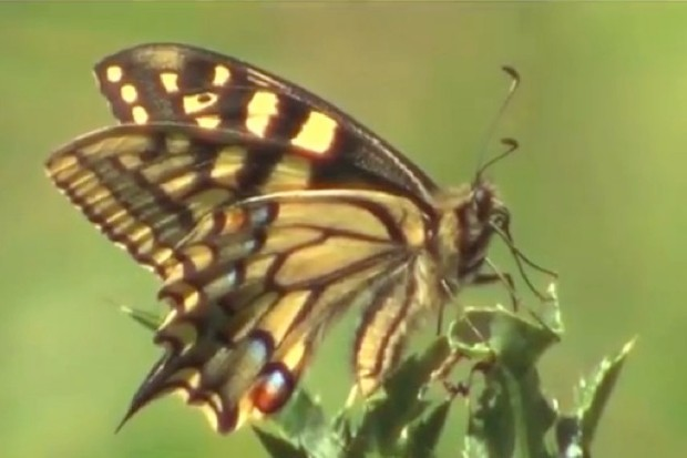 Patrick-Barkham-Guide-to-Butterflies_swallowtail_623-ef8ef41