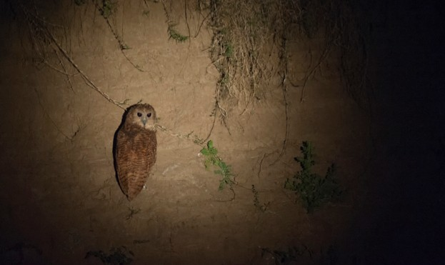 ZAMBIA - 2014/06/18: Pel's fishing owl (Scotopelia peli) at night perched on a riverbank in South Luangwa National Park in eastern Zambia. (Photo by Wolfgang Kaehler/LightRocket via Getty Images)