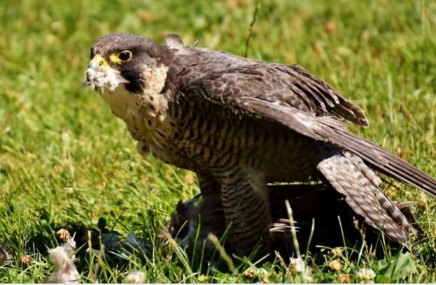 Peregrine-falcon-_-Pixabay-_-623-94b9f82