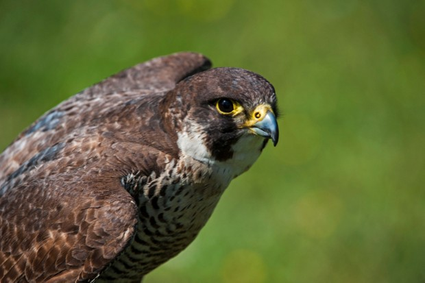 Peregrine falcons are the fastest animals on earth © Arterra / UIG / Getty