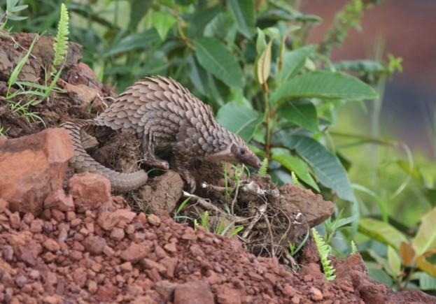 The tree pangolin is one of the four pangolin species found in Africa (there are four more species in Asia) © Tim Wacher / ZSL