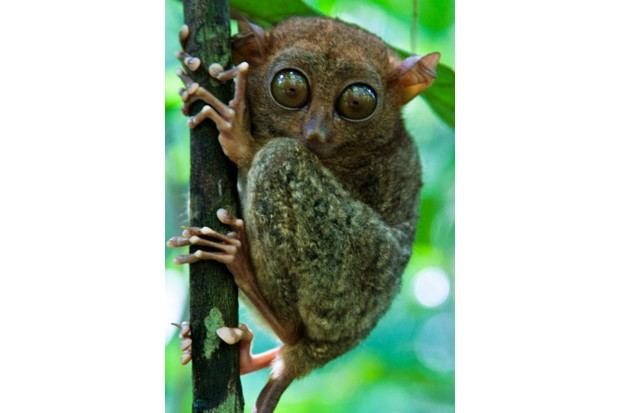 TAGBILARAN, BOHOL, PHILIPPINES - 2008/02/21: The Philippine Tarsier - Tarsius syrichta or Carlito syrichta) - known locally as the Maumag in Cebuano Visayan and Mamag in Luzon, is an endangered species of tarsier endemic to the Philippines.  It is found in the southeastern part of the archipelago, particularly in Bohol.  The tarsier was only introduced to Western biologists in the 18th century.. (Photo by John S Lander/LightRocket via Getty Images)