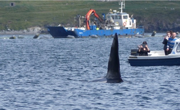 Pictured3A20a20killer20whale20off20Brae2C20Shetland.20Photo20by20Rhona20Clarke.-5925cca