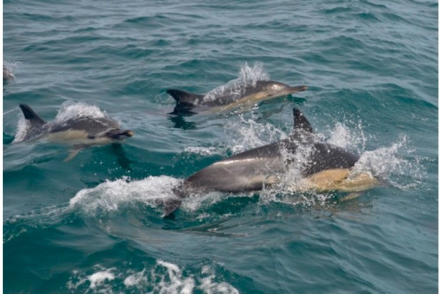 Pictured3A20common20dolphins20from20Marine20Discovery20off20Penzance.20Photo20by20Rebecca20Knee_623-5ddc7e9