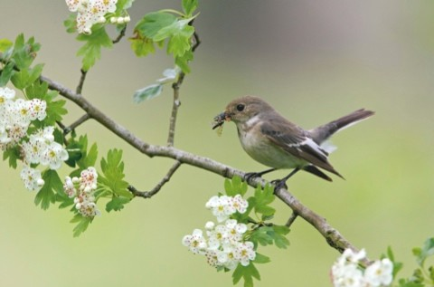 Pied-Flycatcher-female-1-DKJ-may-10-article-cc910c8
