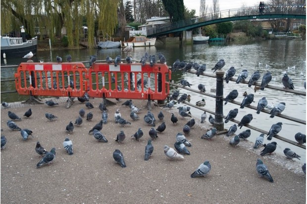 Pigeons sitting beside the River Thames opposite and beneath the footbridge to Eel Pie Island in London, England, United Kingdom. (photo by Mike Kemp/In Pictures via Getty Images)
