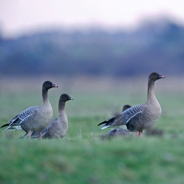 Pink-footed geese grazing on farmlands © David Tipling / Lonely Planet Images / Getty