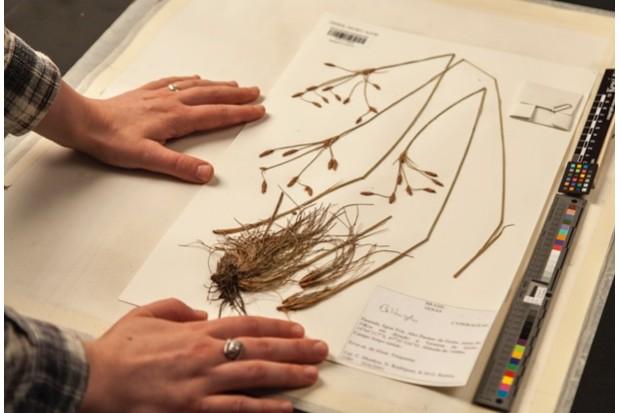 Examining preserved plant specimens in the Herbarium, RBG Kew.