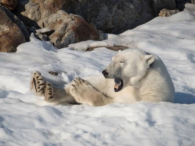 Polar-bear_-Danita-Delmont_Getty-Svalbard_623-b925ab5
