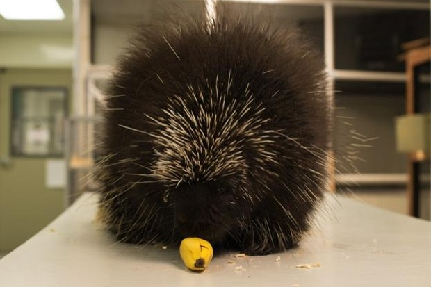 Porcupine tucking into a banana © Lucy Bowden