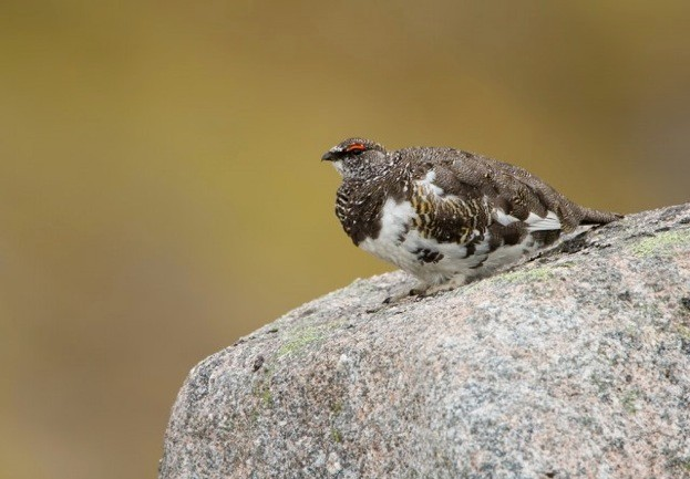 Ptarmigan_623_Carl-Day-30469d7