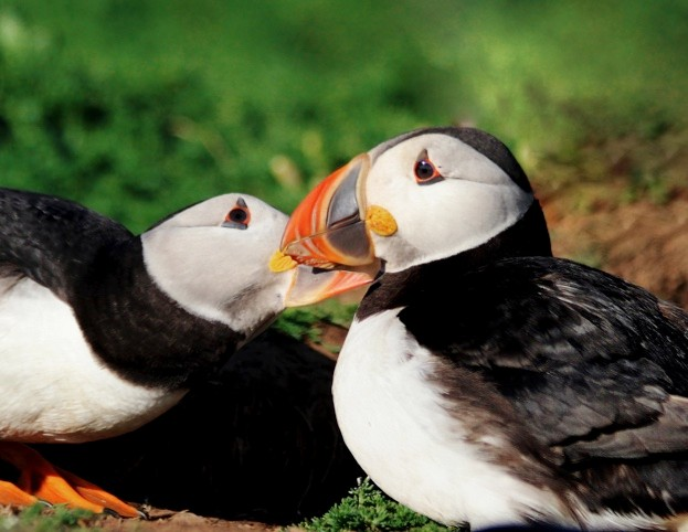 Puffin-pair-colour-Annette-Fayet-623-1a4ed36