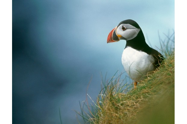 Puffin Fratercula arctica, on grass, Kebble National Nature reserve,Rathlin Island, 2004