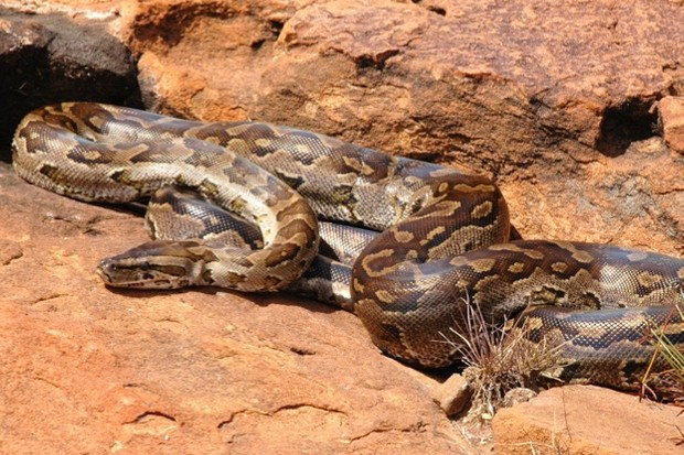 Python_natalensis_G._J._Alexander-Wikimedia-Creative-Commons_623-ae321de
