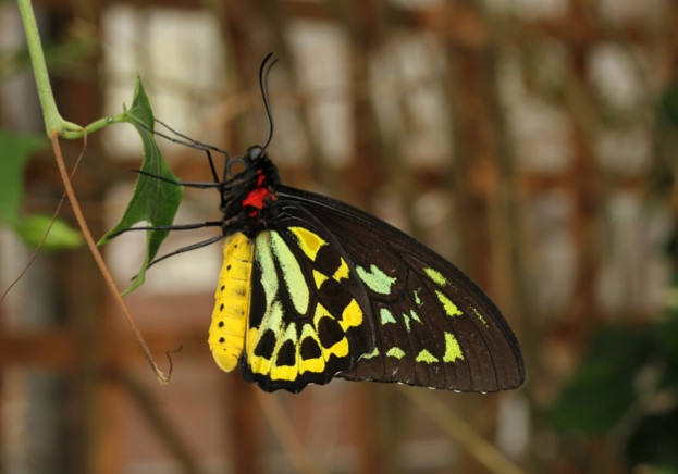 The Queen Alexandra's birdwing (Ornithoptera alexandrae) is the largest butterfly in the world with a wingspan of 25 cm, and was reassessed for the latest IUCN Red List update© Mark Joy
