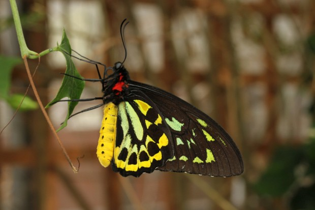 The Queen Alexandra's birdwing (Ornithoptera alexandrae) is the largest butterfly in the world with a wingspan of 25 cm, and was reassessed for the latest IUCN Red List update © Mark Joy