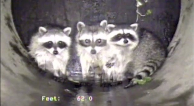 Raccoons-623-Clean-Water-Services-aa46901