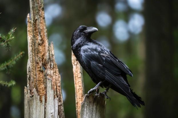 Raven_news-story_cull_623-afe05e4