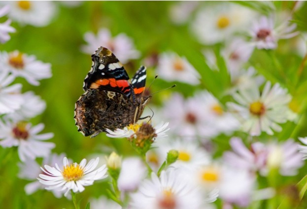 Red-Admiral_Tim-Melling-Butterfly-Conservation_623-b7169d1