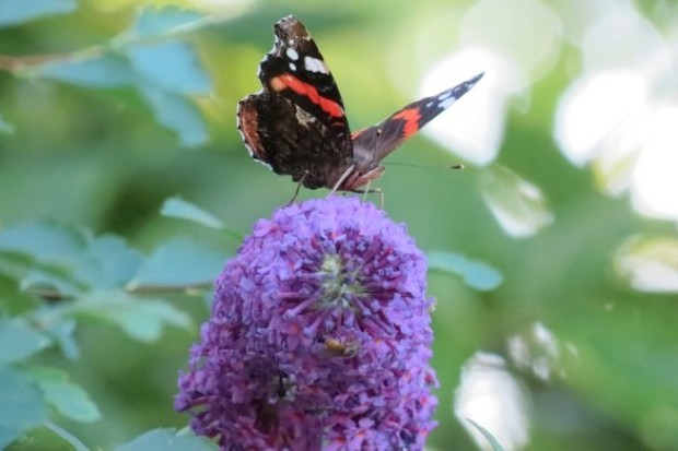 Red-admiral-on-buddleia_Glenn-Gregory_623-7f965f6