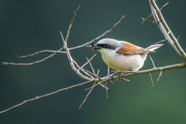 Shrikes (here a red-backed shrike) are the thorn in the side of many small mammals © Prisma Bildagentur / Getty