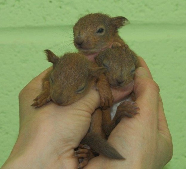 Red-squirrel-kits_April-2018_623-ca1bc82