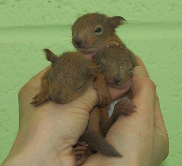 Red-squirrel-kits_April-2018_623-ca1bc82