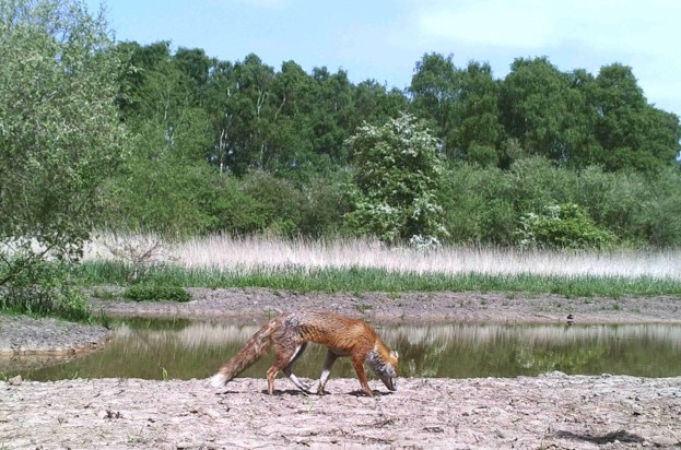 Red20fox20seen20on20camera20trap20at20Chester20Zoo20Nature20Reserve_623_1-c17c062