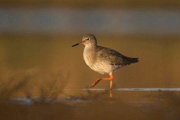 Common redshank (Tringa totanus) foraging in shallow water in wetland