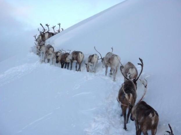 Reindeer in the Cairngorms© Hen Robinson