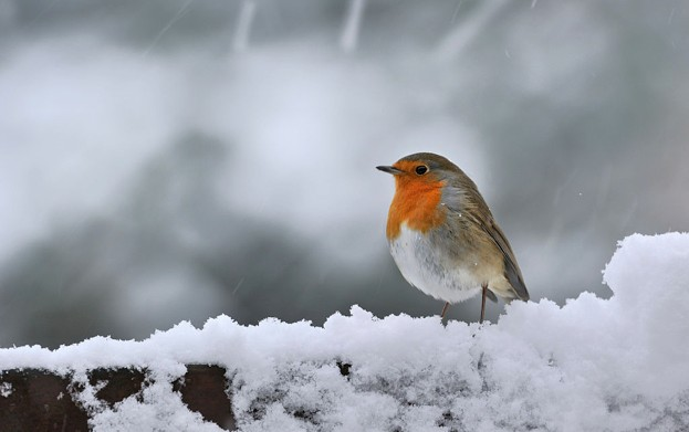 European Robin (Erithacus rubecula) in the snow in winter